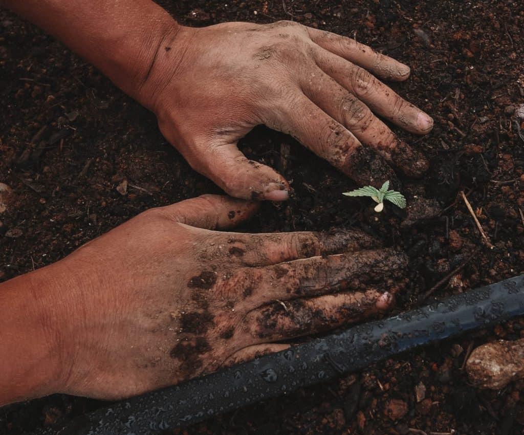 The 5 best soils for marijuana. Hands in soil planting marijuana.