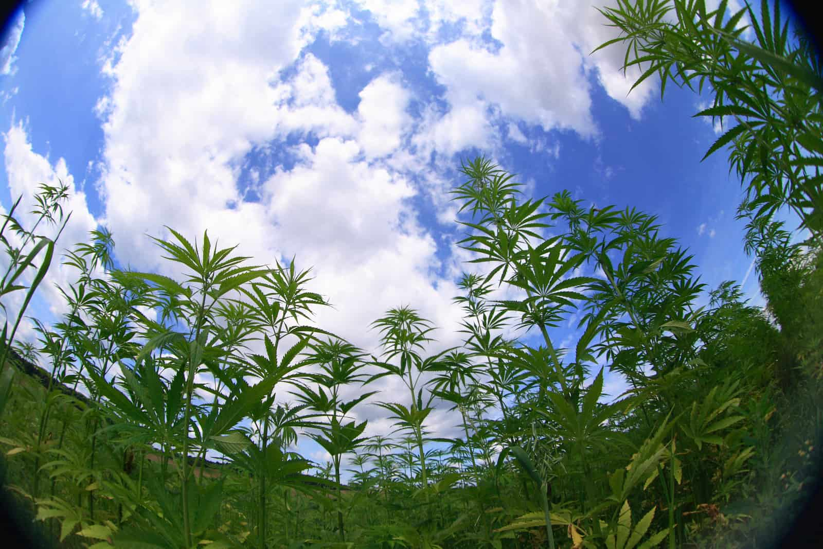 U.N Removes Marijuana From List of Most Dangerous Drugs. Field of marijuana plants.