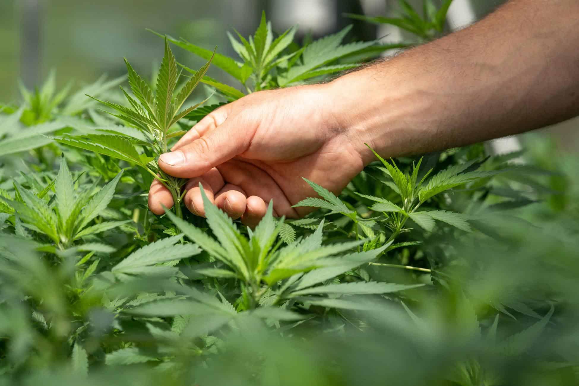 US House Approves Federal Marijuana Legalization Bill. Field of marijuana plants.