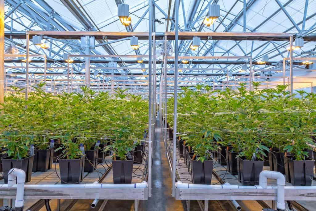 grow marijuana plant indoors from seed