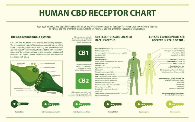 CB1 and CB2 receptor chart