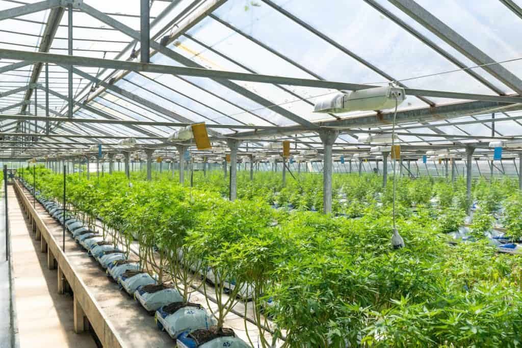 Cannabis growing in Florida in a greenhouse.