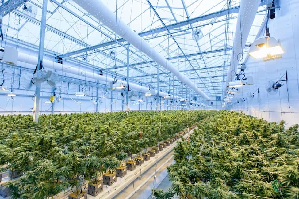 How to Start a Marijuana Business in California. Greenhouse with marijuana plants.