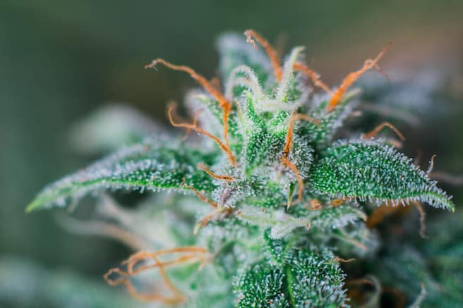 female weed plant