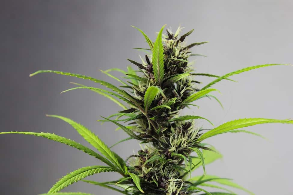 marijuana plant, buy marijuana plants in Colorado