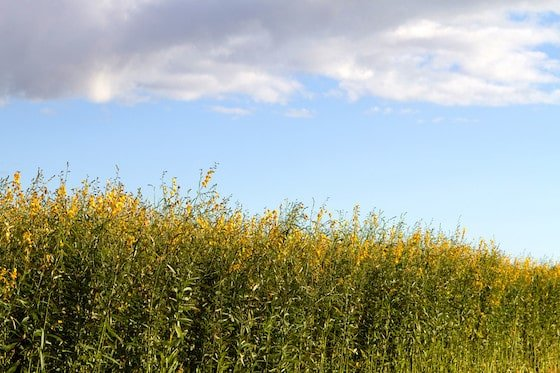 hemp plant field to be used for hemp clothing