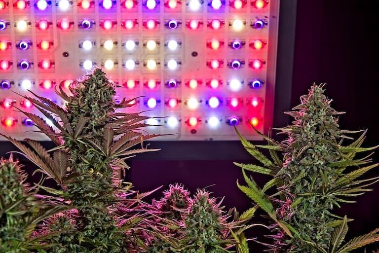 marijuana plants under marijuana grow lights
