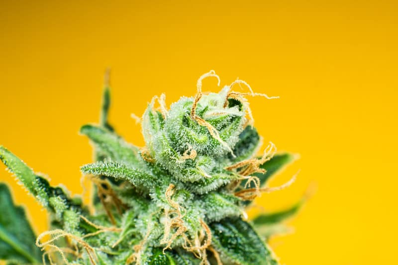 Sherblato strain on orange background