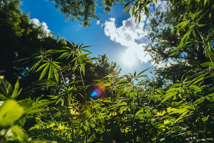 Where Does Weed Grow Naturally