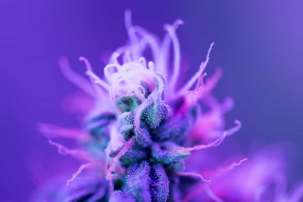 Closeup of Cannabis female plant in flowering phase, blackberry kush strain