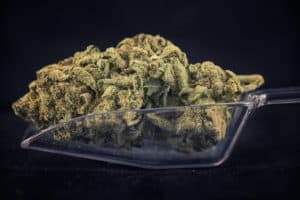 marijuana buds in clear scooper, el alquimista strain