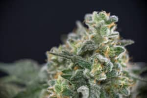 close up of marijuana trichomes, green love potion strain