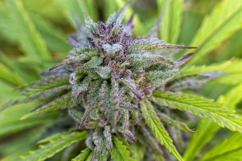 close up of purple dream strain