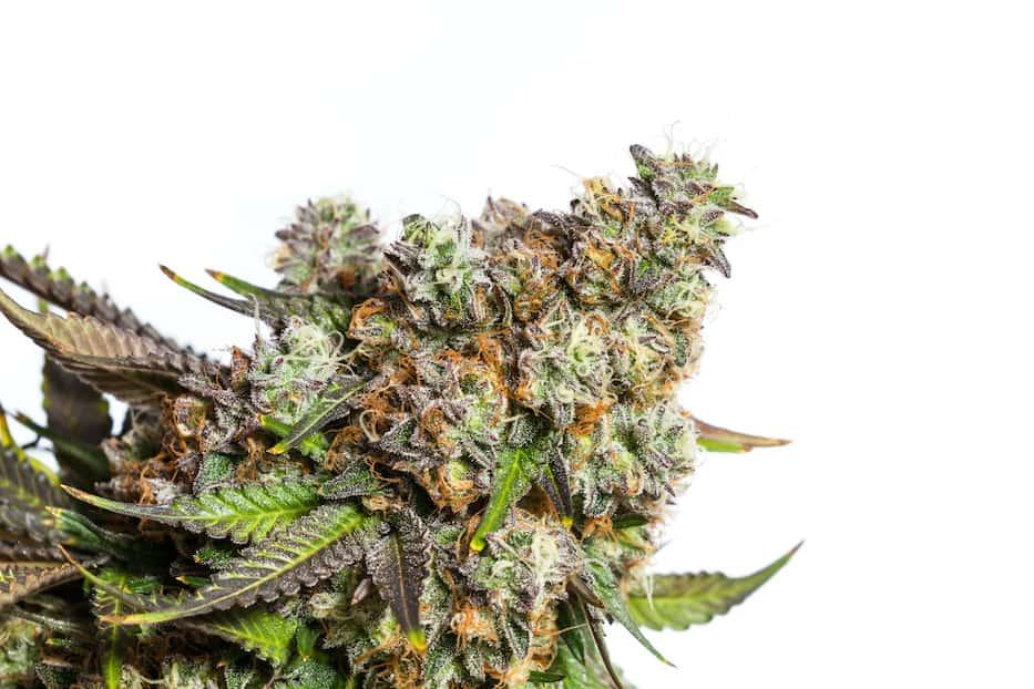 close up of marijuana strain isolated on white, grease monkey strain