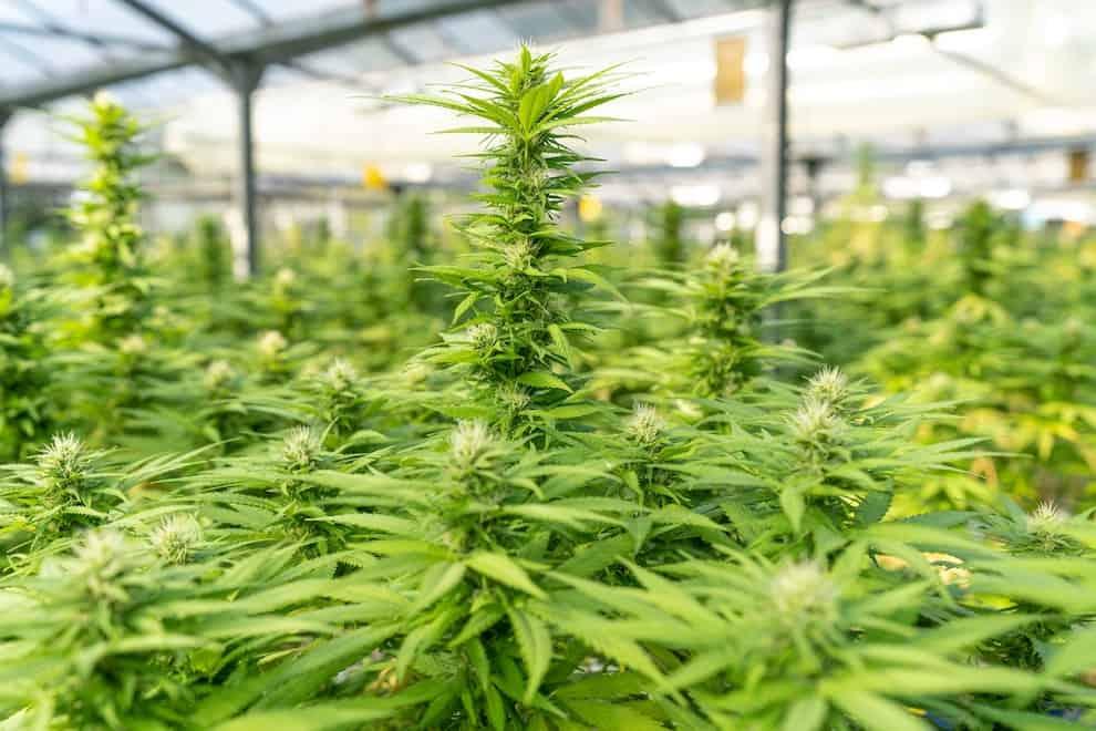 greenhouse of marijuana plants, how big do marijuana plants get
