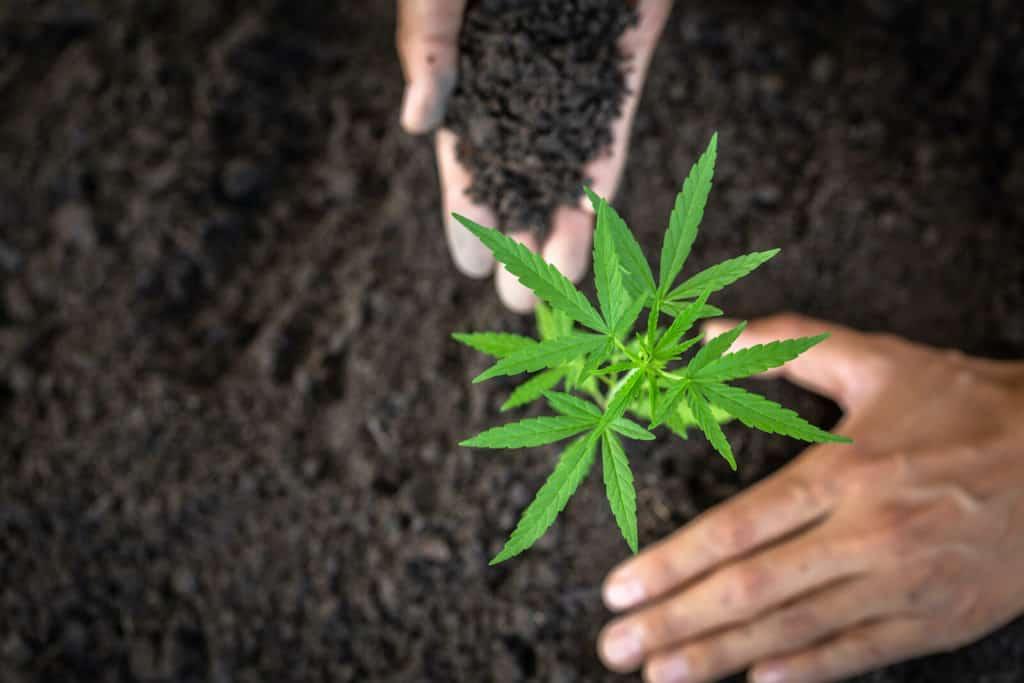 marijuana being planted in soil, how to grow marijuana legally