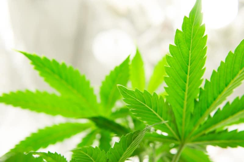 marijuana plant, Arnold Palmer strain