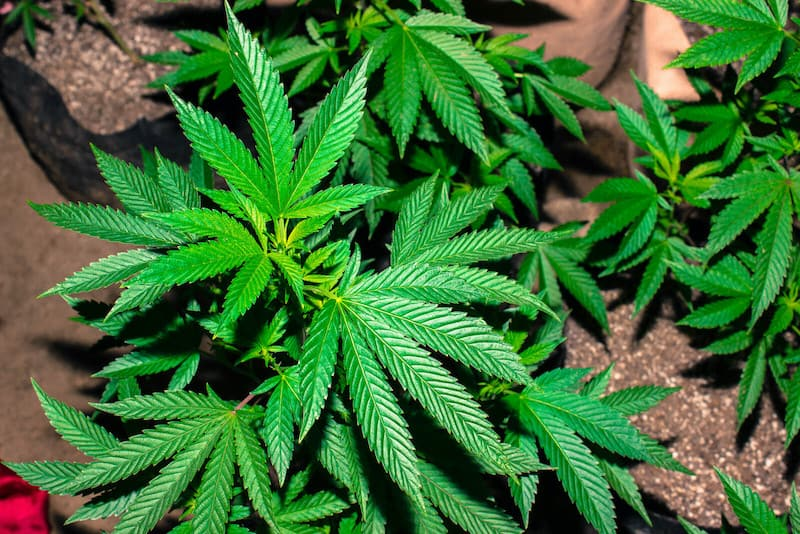 close up of marijuana plants, best school for growing weed in colorado