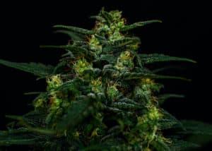 up close of marijuana plant with black background, cosmic cookies strain