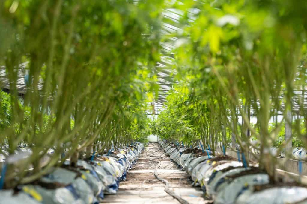 line of marijuana plants outside growing, chores to do in your outdoor cannabis garden