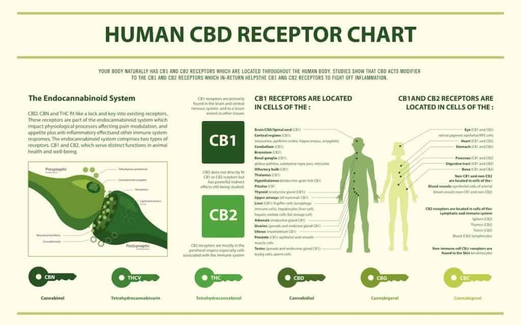 cbd receptor chart, infographics