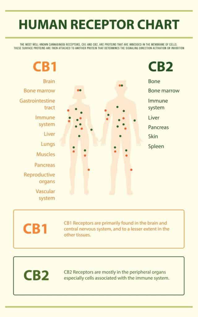 infographic of human cbd receptor chart