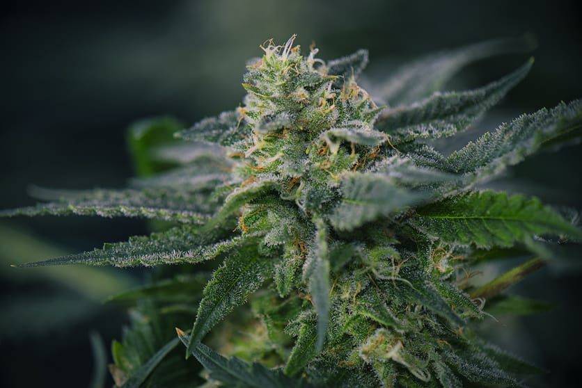 Detail of Cannabis cola with visible hairs, trichomes and leaves, Gary Payton strain