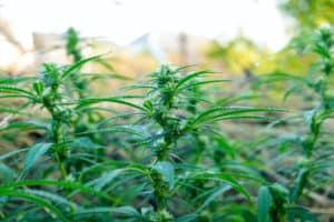 marijuana plants in a field, biggest pot plant