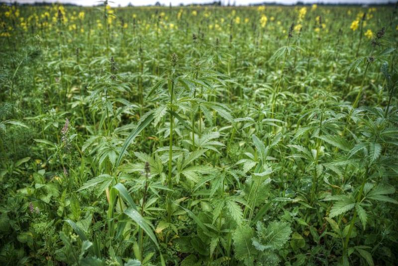 marijuana field, Luxembourg and Switzerland plan to legalize cannabis