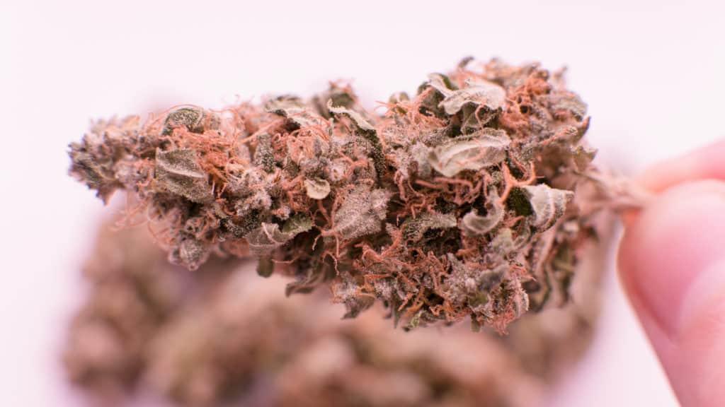 Closeup of trichomes on marijuana, motorbreath strain