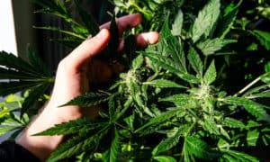 hand touching a green marijuana plant, tres star strain