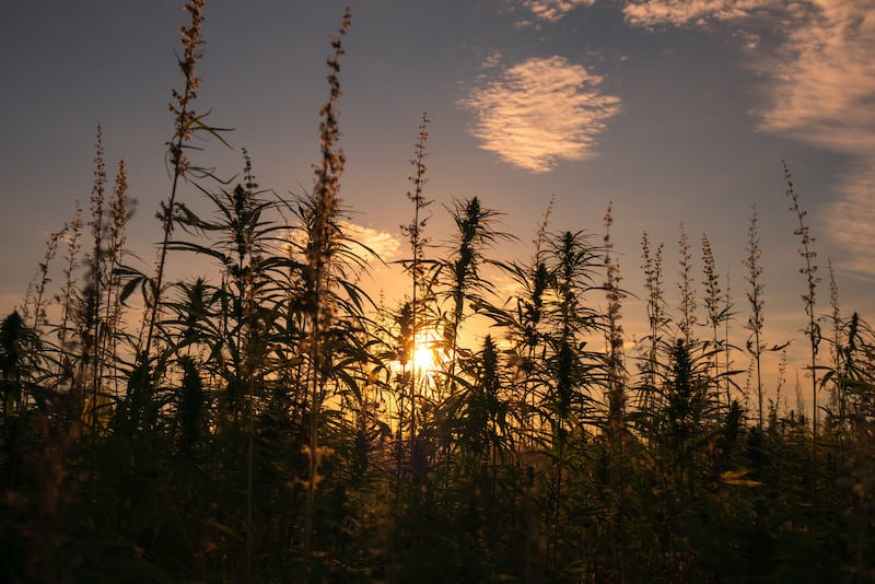 cannabis field, what summer solstice means for cannabis growers