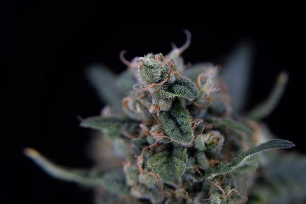 up close of marijuana plant and trichomes, marijuana medical jobs