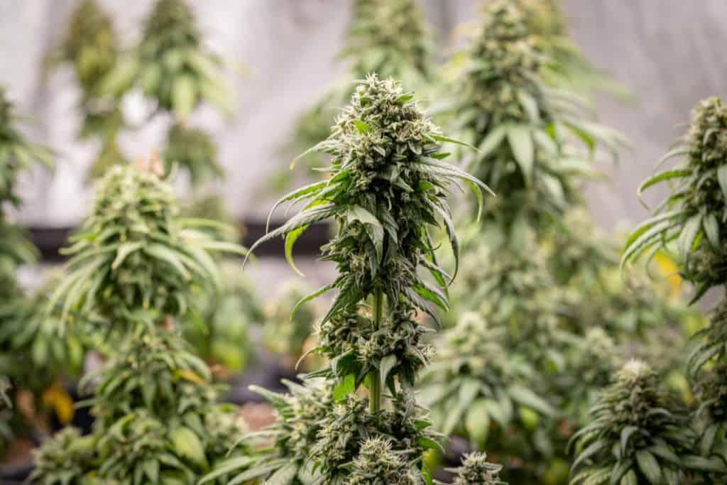 up close of marijuana plants, billionaire Charles koch