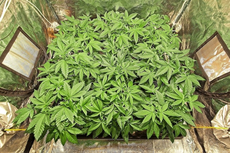 marijuana plants growing in a grow room, how to build a grow room in a basement