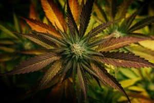 upclose of marijuana plant with orange and green leaves, medical marijuana college Michigan