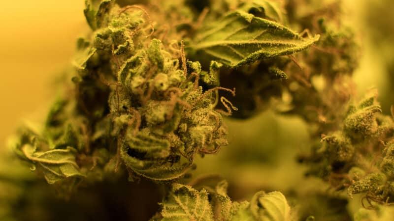 up close of marijuana buds with yellow hues, lemon drop strain