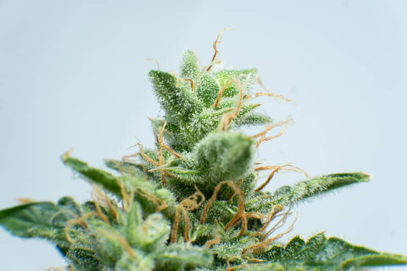up close of cannabis plant and trichomes, rocket fuel strain