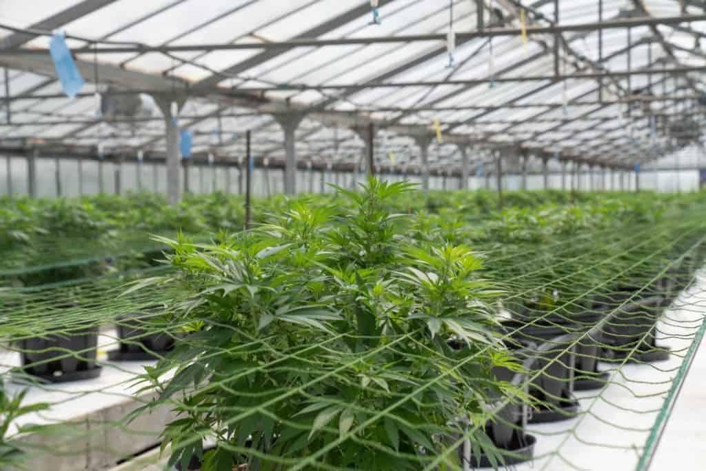 marijuana plants in a greenhouse, how to start a legal marijuana business