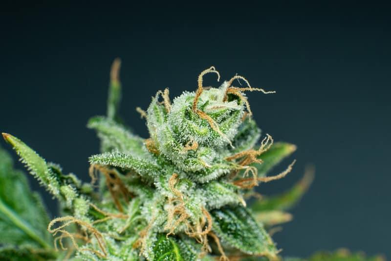 close up of trichomes on marijuana plant, alien cookies strain