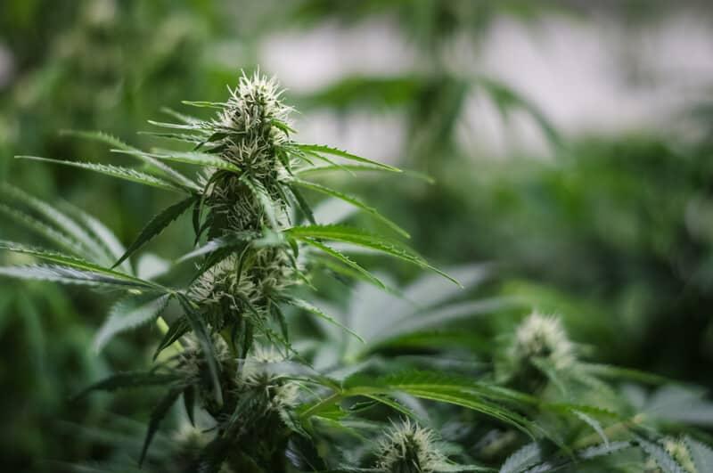 up close of trichomes on marijuana plants, cookie glue strain