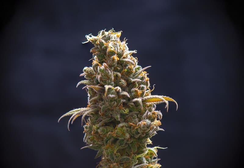 cannabis bud on black background, divorce cake strain