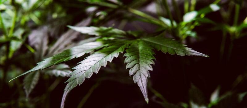 up close of green marijuana leaves, lime sorbet strain