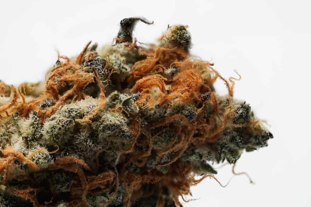 close up of marijuana strain, most popular cannabis strains