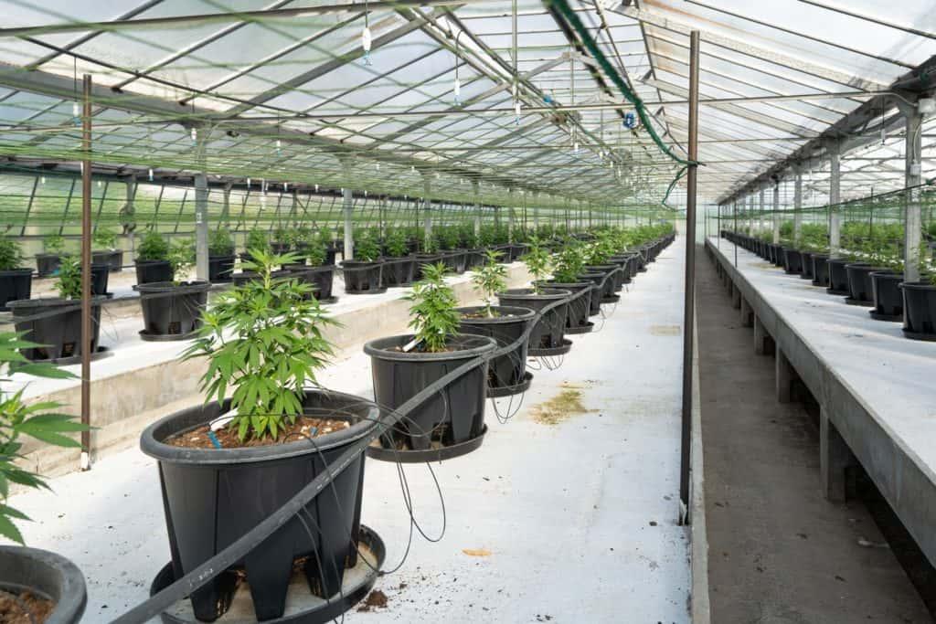 marijuana plants inside a green house. how to start a weed business