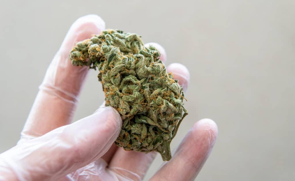 gloved hand holding a marijuana bud, marijuana jobs in Colorado