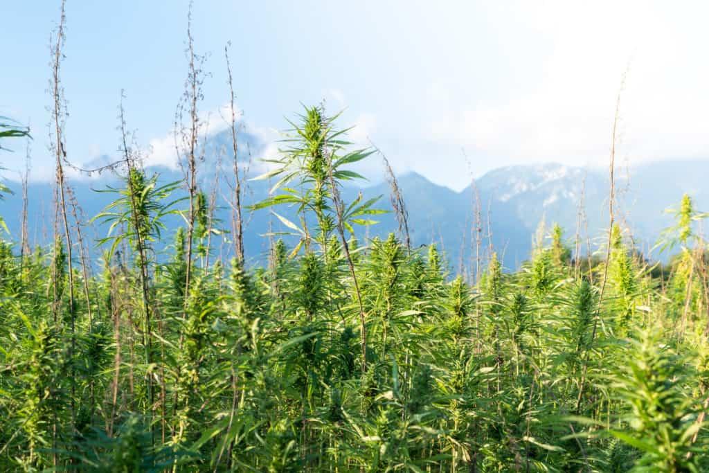 field of marijuana plants, best outdoor grow setup