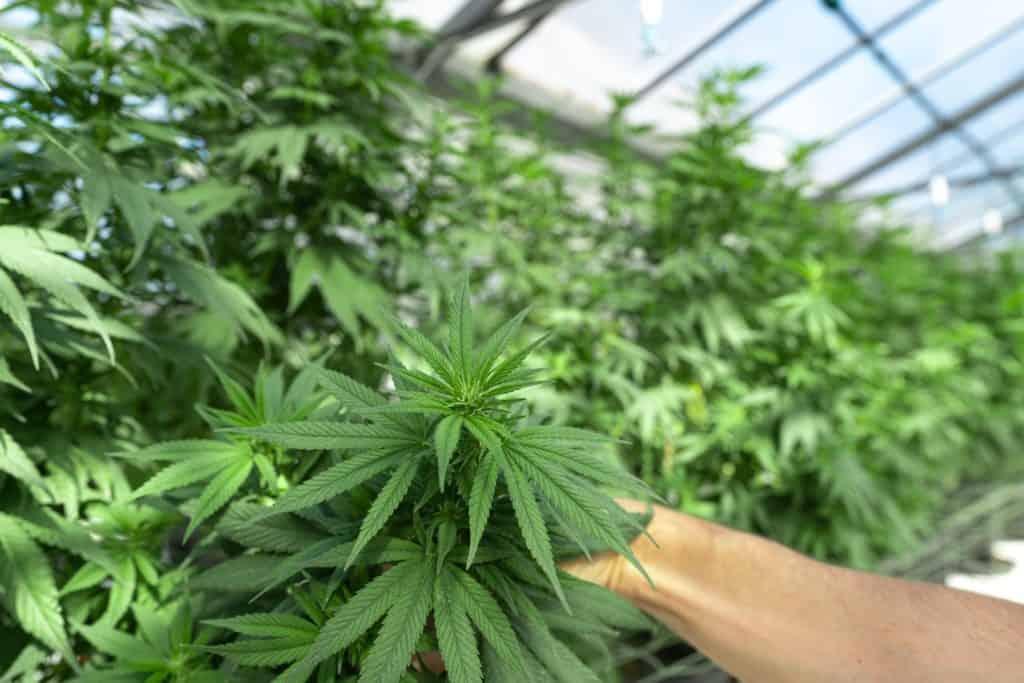 marijuana plants in a greenhouse, marijuana grower jobs