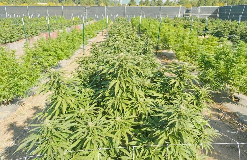 Texas Medical Marijuana Laws