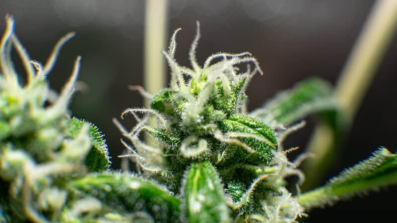 close up of marijuana plant, cannabis derived terpenes